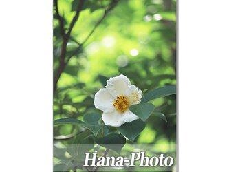 1358) 美しい夏椿  ポストカード5枚組の画像