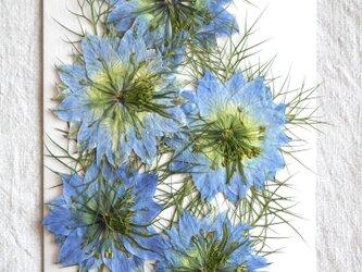 爽やかなブルー ニゲラ5輪 押し花パックの画像