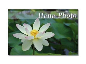 1362) 美しいハスの花  ポストカード5枚組の画像