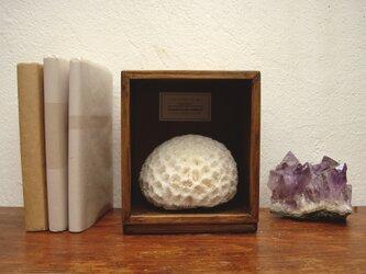 キクメイシ珊瑚の一種標本。の画像