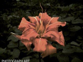 ILLUSION W017   幻想   FLOWER   花   DREAM   夢の画像