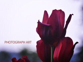 WINE RED   W019   ワインレッド   チューリップ   FLOWER   花の画像