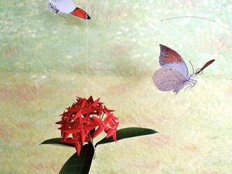ツマベニチョウとサンタンカ(紅花)の画像