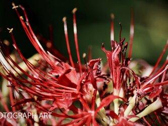 曼珠沙華  W038  After the Storm  花 Flower   赤 REDの画像