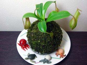 ウツボカズラの苔玉の画像