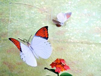 ツマベニチョウとサンタンカ(オレンジ花)の画像