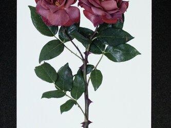 バラのポストカード ブラック・ティー(ver.2)の画像