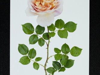 バラのポストカード アブラハム・ダービーの画像