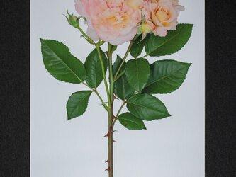 バラのポストカード アウグスタ・ルイーゼの画像