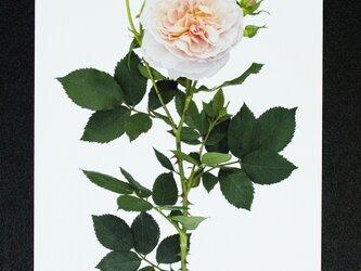 バラのポストカード コレット(コレッタ)の画像