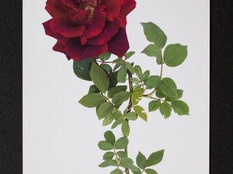バラのポストカード クリムゾン・グローリーの画像