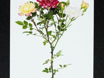 バラのポストカード マスカレードの画像