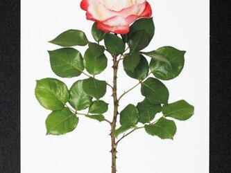 バラのポストカード ノスタルジーの画像