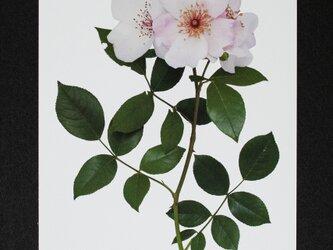 バラのポストカード ピンク・サクリーナの画像