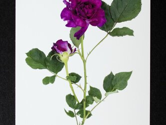 バラのポストカード ローズ・ド・クミコの画像