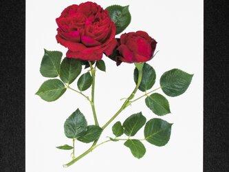 バラのポストカード ルージュ・ピエール・ド・ロンサールの画像