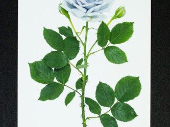バラのポストカード 青龍の画像