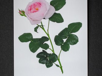 バラのポストカード セプタード・アイルの画像