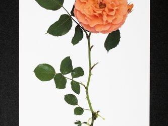バラのポストカード ビブ・レ・バカンスの画像