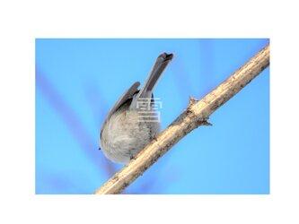 #6632 ハシブトガラの写真 ハガキサイズの画像