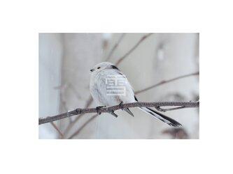 #41 シマエナガの写真 ハガキサイズの画像