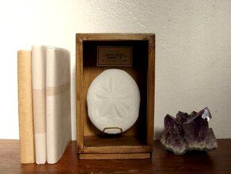 タコノマクラの骨格標本。の画像