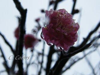 初雪と紅梅【アート写真A4サイズ/額なし】の画像