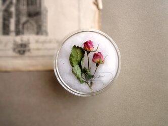 植物標本 ■シャーレ仕立て■バラ アイリーンの画像