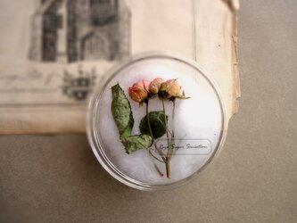 植物標本 ■シャーレ仕立て■バラ スーパーセンセーションの画像