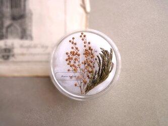 植物標本 ■ シャーレ仕立て ■ ミモザ フサアカシアの画像