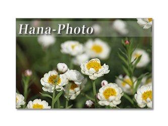 1382) 花かんざし、アネモネ、雲間草、ビオラ    ポストカード5枚組の画像
