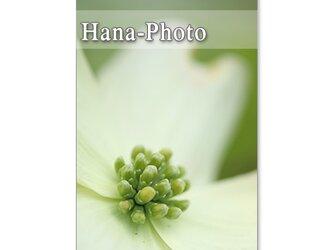 1392) 美しいハナミズキと八重桜   ポストカード5枚組の画像