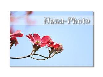 1394) 美しい赤と白のハナミズキ   ポストカード5枚組の画像
