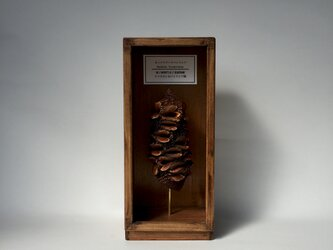 ホッケリアーナバンクシアの実標本その四。の画像