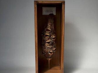 アテヌアータバンクシアの実標本。の画像