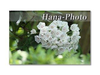 1398) パラソルのような、金平糖のような可愛い花 カルミア  ポストカード5枚組の画像
