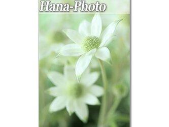1399) 優しいフランネルフラワーたち  ポストカード5枚組の画像
