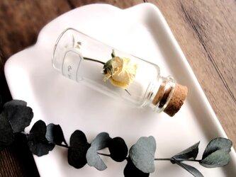【展示のみ】植物標本 Botanical Collection■No.R-40 バラ アイスウィングの画像