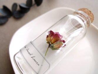 植物標本 Botanical Collection■No.R-42 バラ エンジェルローラの画像