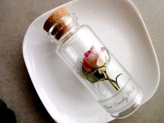 植物標本 Botanical Collection■No.R-43 バラ キャンディーピンクの画像