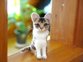 【キジトラ白猫ちゃん 大きめの子】 の画像