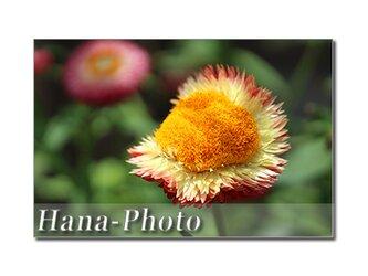 1400) 何の花? ドライフラワーのヘリクリサム    ポストカード5枚組の画像