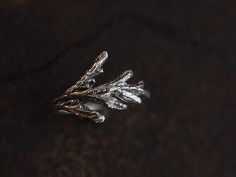 糸杉の葉のリングの画像