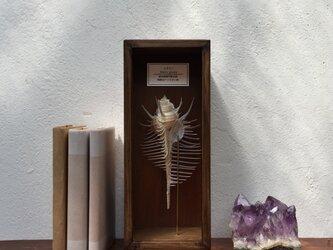 ホネガイの標本(特大)その二。の画像