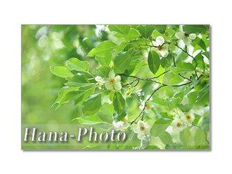 1403) 美しいヒメシャラ    ポストカード5枚組の画像
