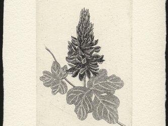 くずの花/ 銅版画 (作品のみ)の画像