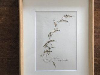 【身近な植物標本】スズメノエンドウ の画像