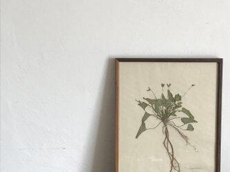 【身近な植物標本】ノジスミレ の画像