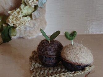 クルミの芽 2コセットの画像