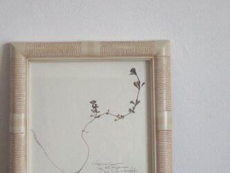 【身近な植物標本】ヤエムグラの画像